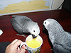 Adorable Grey parrot for adoption